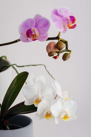 orchid blossoms in spring