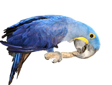hardly: Hyacinth Macaw: Cant you get it?!..  My name is C-C-C-Leo. Im so B-B-Big that I can hardly fit into your T-T-Tiny frame.