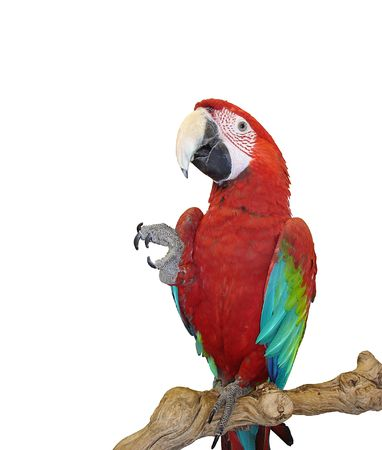 give me five: Blue Wing Red Macaw - Take my Four, and Give me Five! Stock Photo