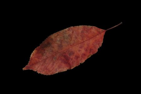 Autumn Leaf Fever. Isolated. On Black.