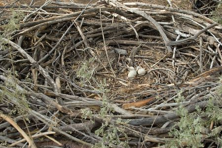 Whole circle - Huge Eagle's Nest with Eggs Banque d'images