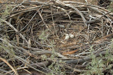Whole circle - Huge Eagle's Nest with Eggs 版權商用圖片 - 366343