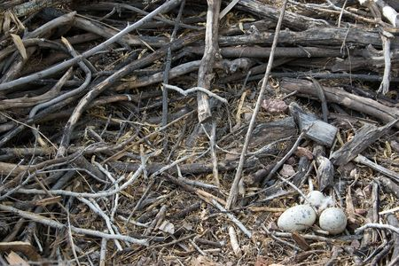 Close up of Eagles Nest with Eggs 版權商用圖片
