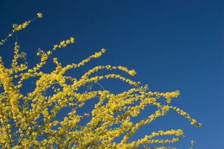 fabaceae: Arizona Yellow Blue: Fabaceae Parkinsonia Microphyllum or Yellow Palo Verde, Arizona State Tree, on Pristine Blue Sky