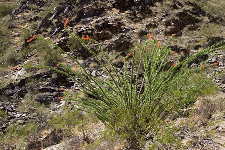 ocotillo: Spring Cactus: Bloomimg Ocotillo Cactus in Low Mountain Desert
