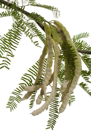 fabaceae: Half Dry Mesquite Pods or Prosopis Fabaceae Legumes