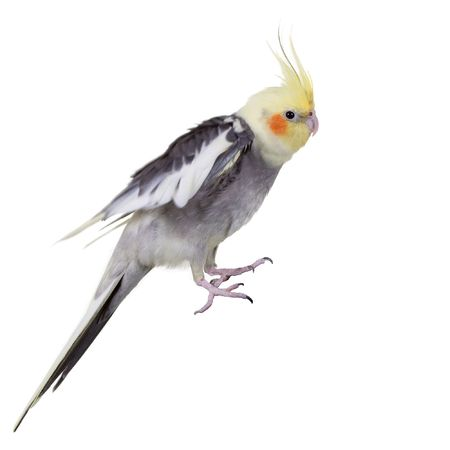 Parrot Shaking Wings; Focus on Eye.