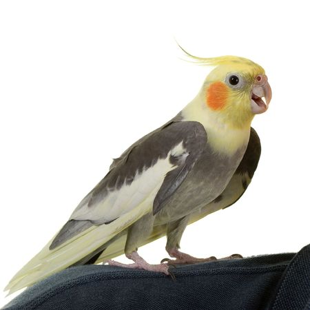 """Hallo"" aus Cockatiel, in Wei�"