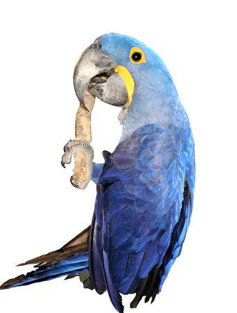 Ooops! Hold-on! (Hyacinth Macaw) 스톡 콘텐츠