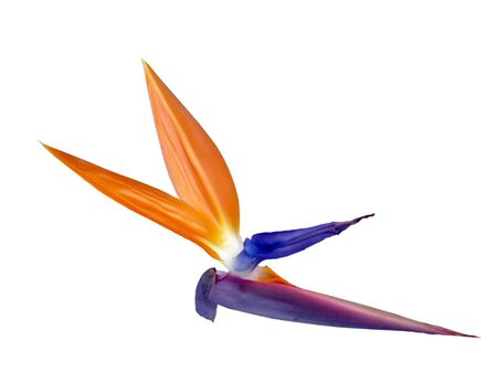 Bird-of-Paradise: Unique flower, native of South Africa; isolated, path included Stock Photo