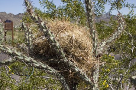 Bird Nest in Cactus