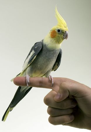 Friendly Cockatiel Parrot sitting on owners finger. On Gradient Grey.