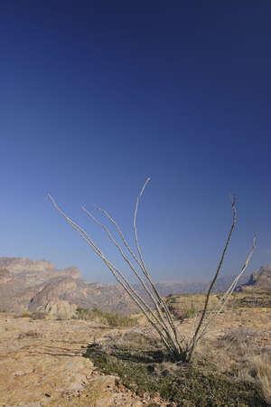 ocotillo: Ocotillo Cactus above Apache Trail; Arizona in Winter.