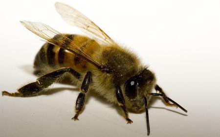 Honey Bee Macro on white