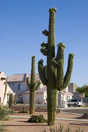 Beautiful Saguaro Cactus in Front of House in Phoenix, AZ