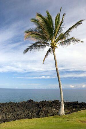 kona: Hawaiian Palm Tree on Volcanic Lava Coast of Kona Island Stock Photo