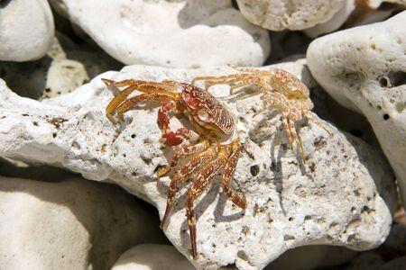 pinchers: Hawaiian Crabs Baked by Sun on Kona Island Volcanic Rocks Stock Photo