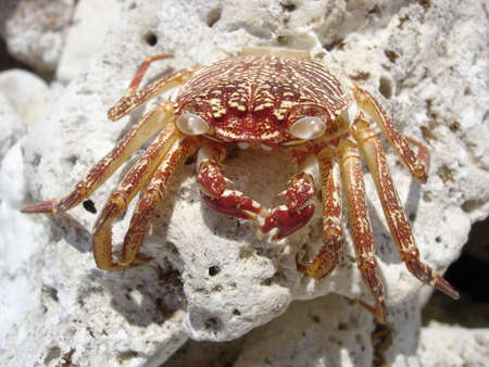 pinchers: Hawaiian Crab Baked by Sun on Kona Island Volcanic Rocks