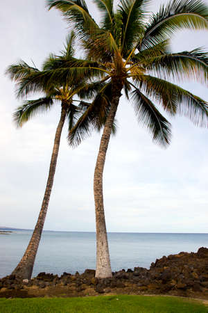 kona: Hawaiian Palm Trees on Volcanic Lava Coast of Kona Island Stock Photo