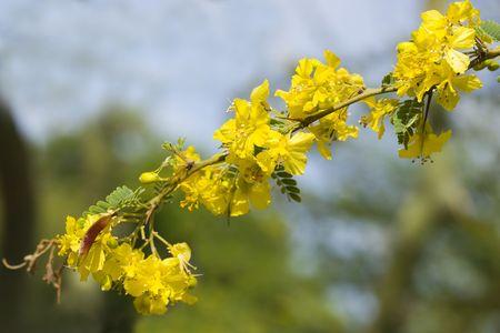 fabaceae: Palo Verde flowers (Fabaceae Parkinsonia Microphyllum)