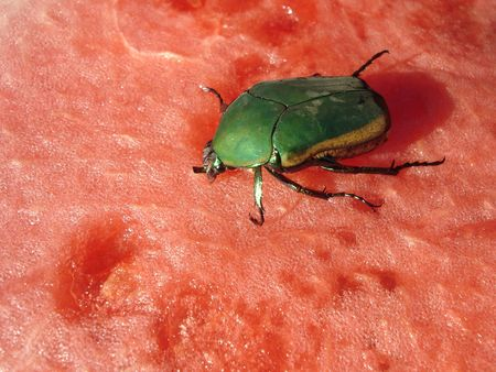 upclose: Lunch Time for Big Green Beetle on Red Water Melon Stock Photo