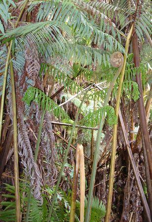 kona: Hawaiian Rain forest on Kona Island, East Side