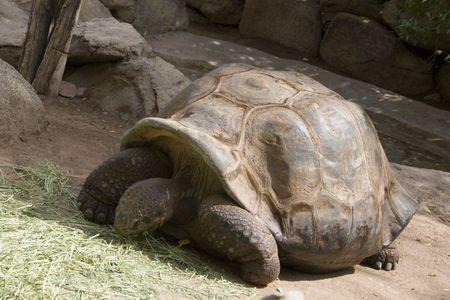 munching: Gigantic Aldabra Tortoise munching fresh green grass Stock Photo