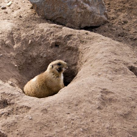 burrow: Gopher on Guard Sitting on Top of Its Burrow in Desert Stock Photo