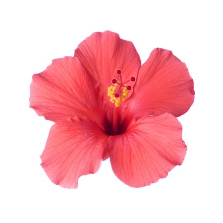 pistil: Brilliant or San Diego Red, a type of Tropical Hibiscus; Focus on Pistil