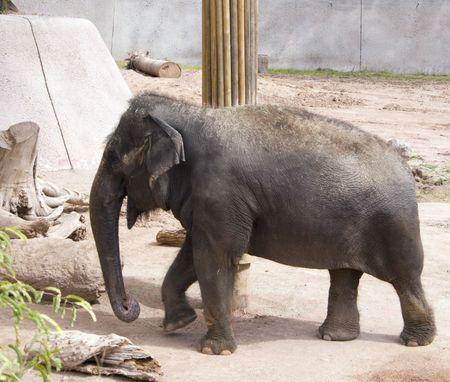 poll: Elephant walking around poll in Phoenix Zoo, AZ