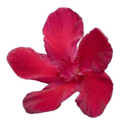 pistil: Hardy Red Oleander Flower on white; Focus on Pistil