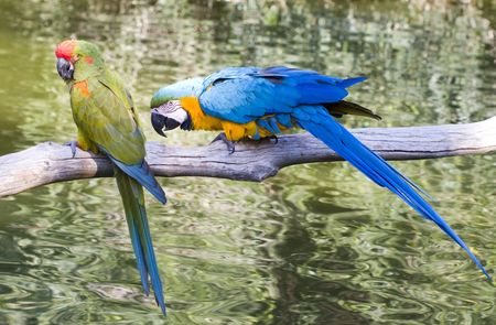 Hyacinth Macaws in close communication; close up