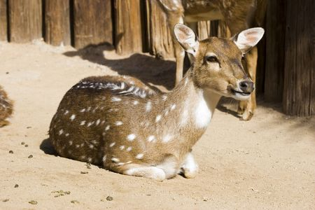 Antelope resting on the ground in the Zoo; closeup Imagens - 2529479