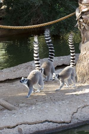 third eye: Ringtail Lemurs with Raised tails As Rule of Third Stock Photo