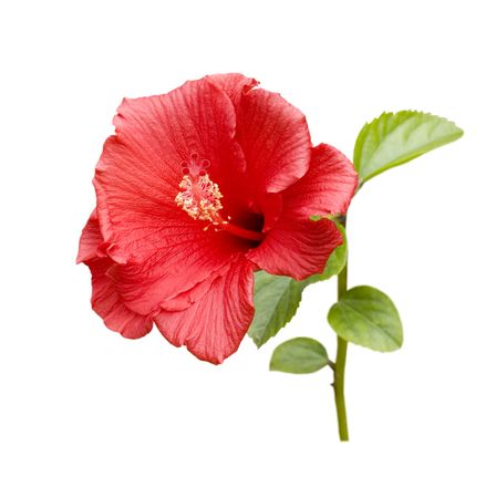 Brilliant or San Diego Red Tropical Hibiscus; Focus on Pistil