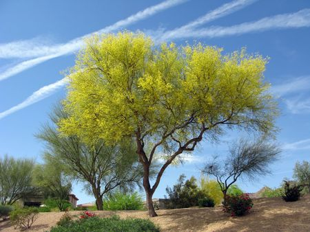 Fabaceae: Blooming Palo Verde (Fabaceae Parkinsonia Microphyllum) Tree In Arizona Stock Photo