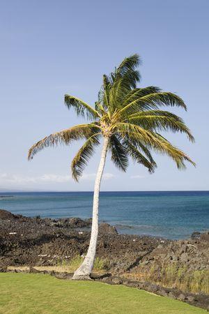 kona: Coast of Hawaii Kona Island with Palm and Still Black Volcanic Lava