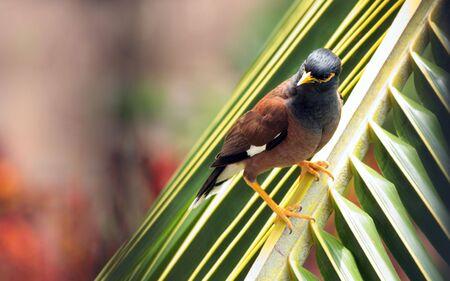 kona: Kona Island Minah Bird on Palm Leaf, Hawaii