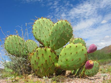 Arizona Desert Cactus of Opuntia Genus with Red Fruits Imagens