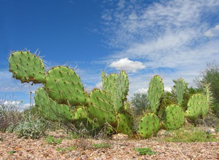 Arizona Desert Cactus of Opuntia Genus in Lost Dutchman Park
