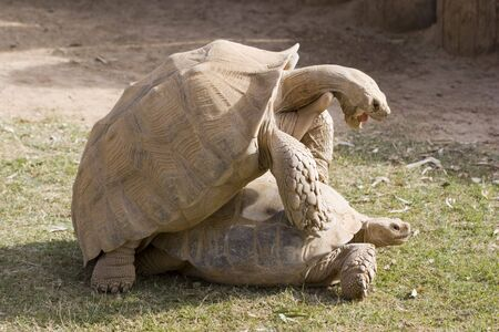 Aldabra Tortoises Special Moment, Daylight Love Affair