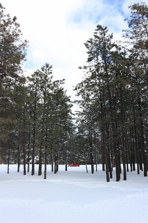 snows: Red Car in Snows of Tall Evergreen Winter Forest