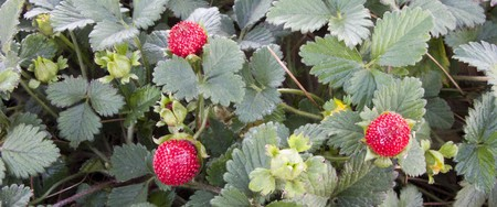 Spring Wild Strawberry Trio on Panoramic Green Leaf Background
