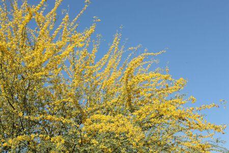 Amarillo Palo Verde (Parkinsonia Microphyllum Fabaceae) - árbol del Estado de Arizona Foto de archivo - 4681738