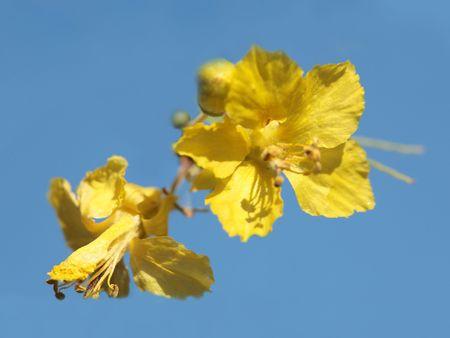 fabaceae: Yellow Palo Verde (Fabaceae Parkinsonia Microphyllum) - Arizona State Tree