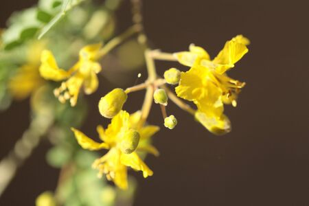 fabaceae: Palo Verde, Fabaceae Parkinsonia Microphyllum
