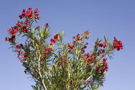 Blooming Red Oleander Flowers on Blue Sky Background photo