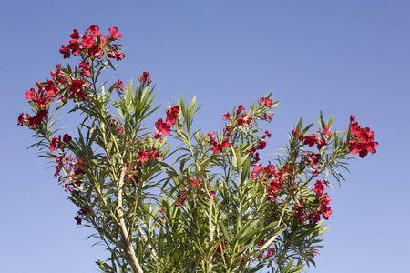 Blooming Red Oleander Flowers on Blue Sky Background