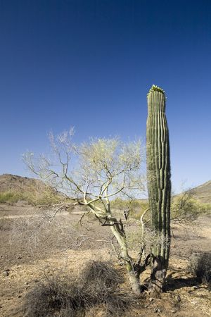 Arizona State Symbols Saguaro Cactus and Palo Verde Tree