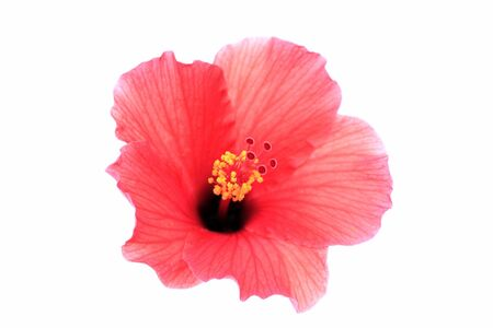 pistil: Brilliant or San Diego Red, Tropical Hibiscus; focus on Pistil Stock Photo